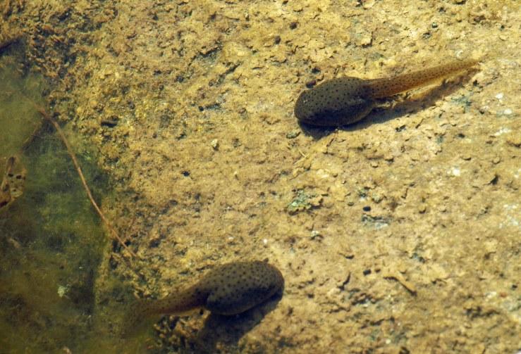 Huge Tadpoles at Fenner Nature Center