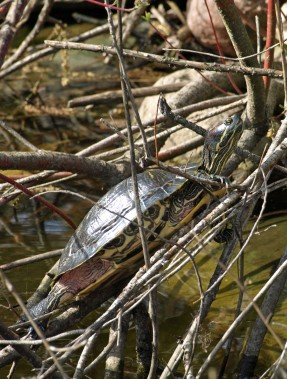 Painted Turtle at Fenner Nature Center