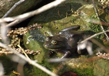 Frog at Fenner Nature Center