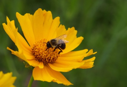 Bee on coreopsis at Fenner Nature Center, June 2015