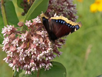 Mourning Cloak butterfly on milkweed at Fenner Nature Center, June 2015