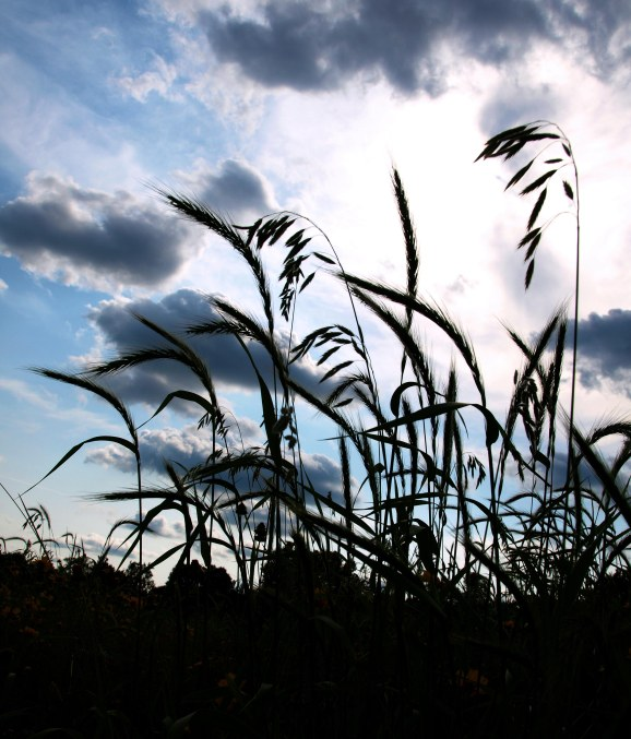 Native grasses against a dramatic summer sky