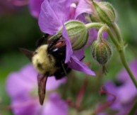 Bee on Wild Geranium