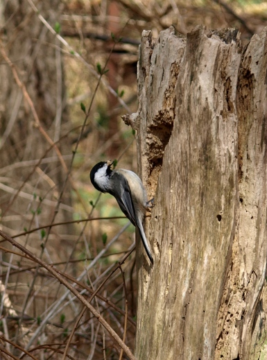 Busy Chickadee hollowing out a home at Fenner Nature Center