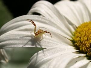 Crab Spider on Daisy