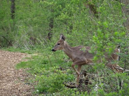 Shy Deer at Fenner Nature Center