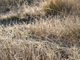 A sea of frosted grass