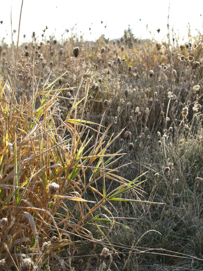 Frost-tinged grasses in the morning sunlight