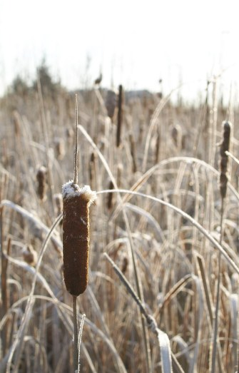 Frosty cattails in November