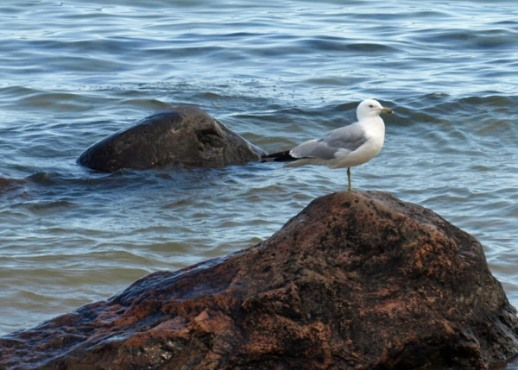 Lake Superior Seagull