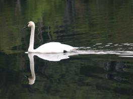 Swan at Camp Lael