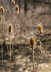 Last Year's Teasel at Fenner Nature Center