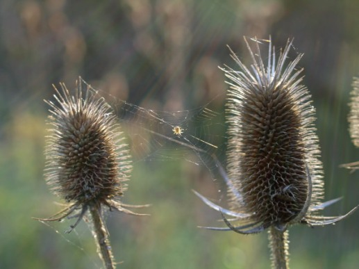 Teasel and Spiderweb