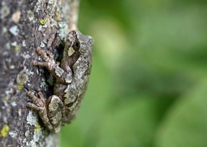 Tree Frog, Kewadin, MI