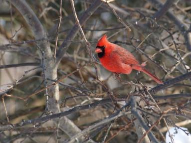 cardinal05