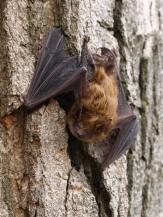 Little Brown Bat