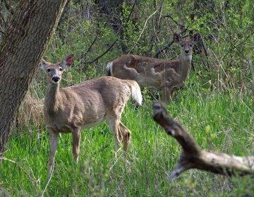 Deer at Fenner Nature Center, Lansing, MI
