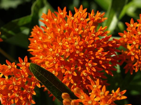 butterflyweed1