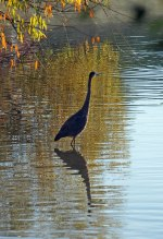 Heron at Fairview Park, Lansing, MI
