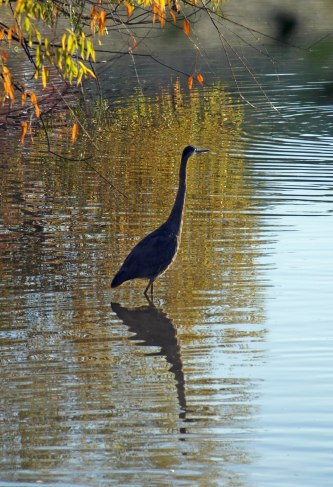 Heron at Fairview Park, Lansing, MI