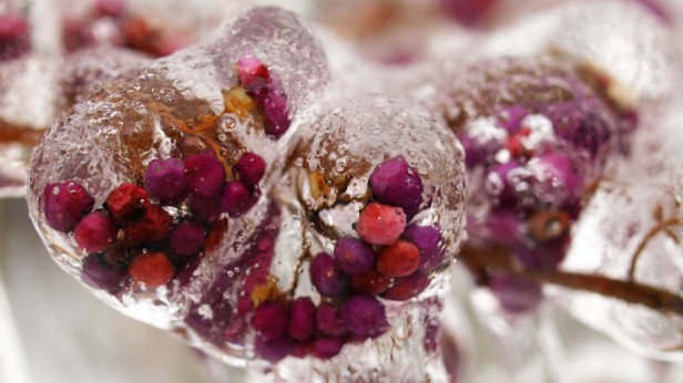 Rose hips on ice