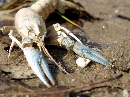 Crayfish exoskeleton, Lake Louise