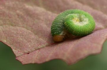 Caterpillar on my roses