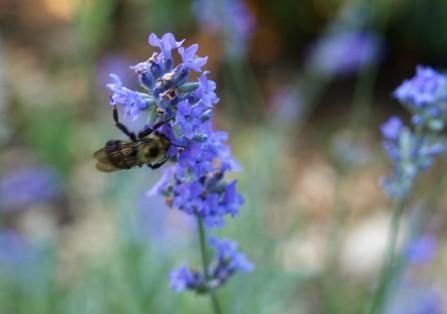 Bee on Lavendar