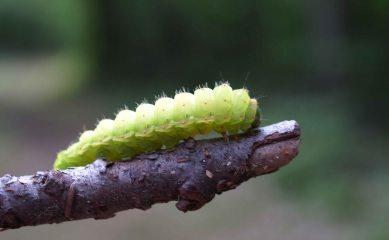 Luna moth caterpillar, Giant Pines trail, Tahquamenon Falls