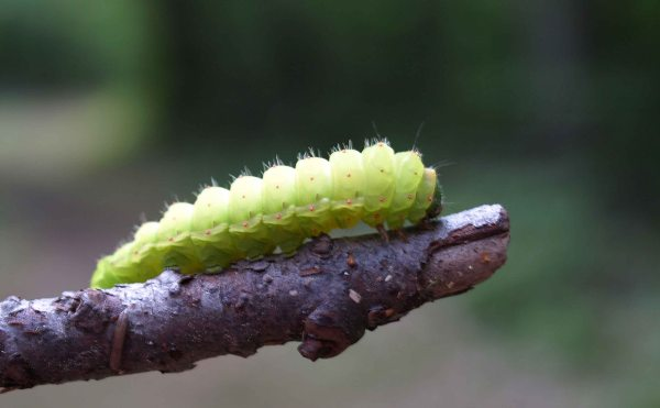 Luna moth caterpillar, Giant Pines trail, Tahquamenon Falls