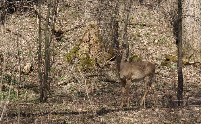 White-Tailed Deer at Fenner Nature Center