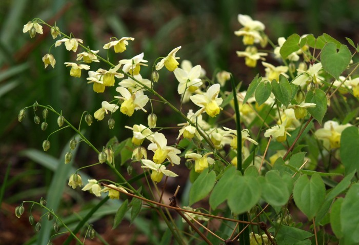 Yellow Epimedium