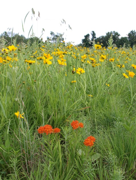 Coreopsis and butterfly weed
