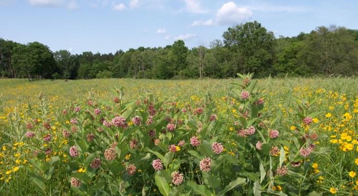 Milkweed at Fenner Nature Center