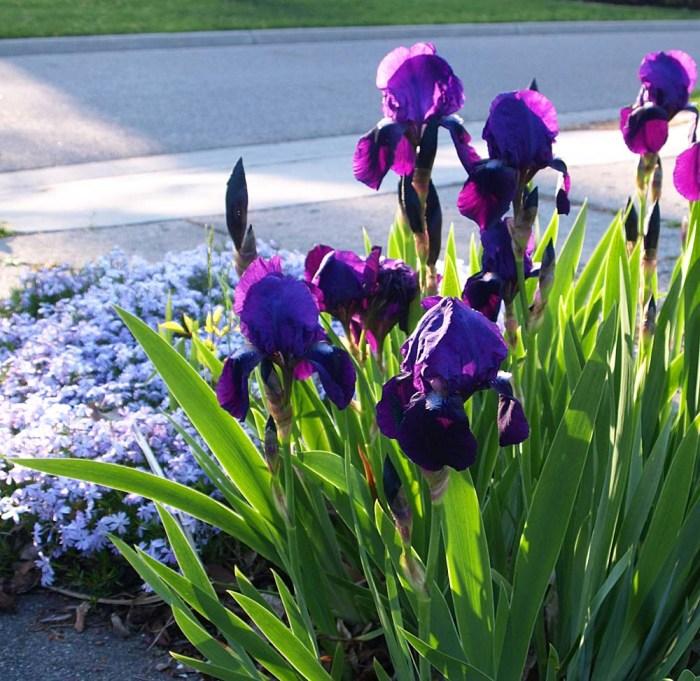 iris and phlox