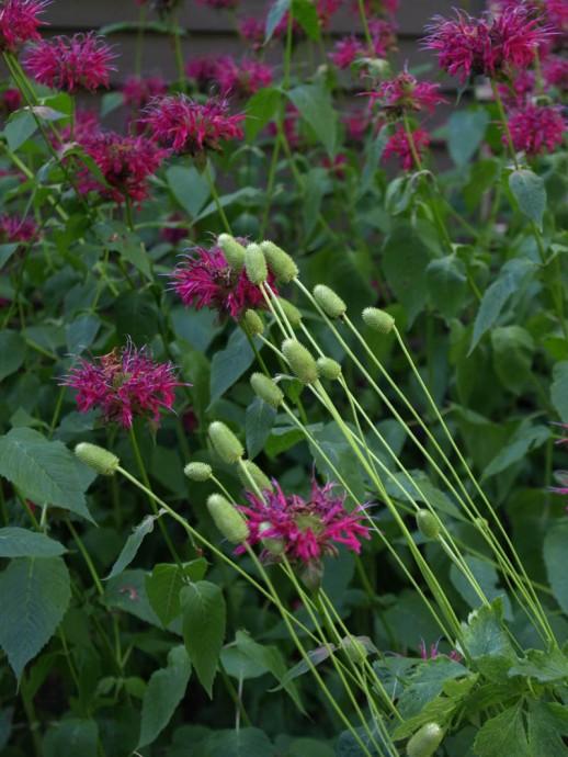 thimbleweed & monarda