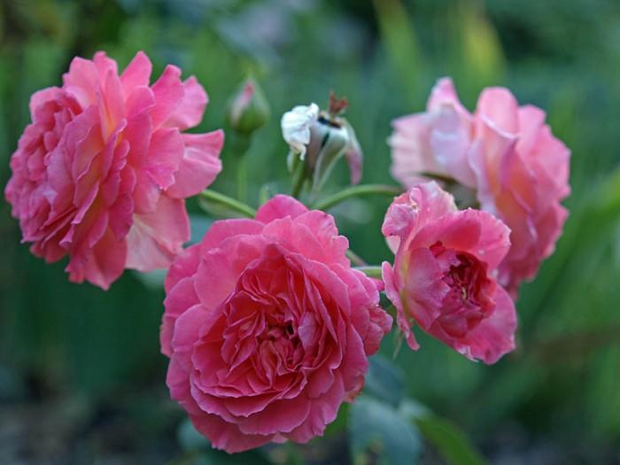 liv tyler rose