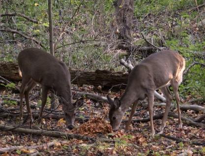 Deer at Fenner Nature Center, October 2015