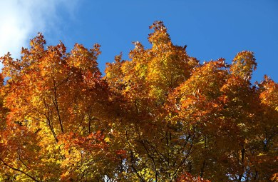 Fiery Maple at Fenner Nature Center, October 2015