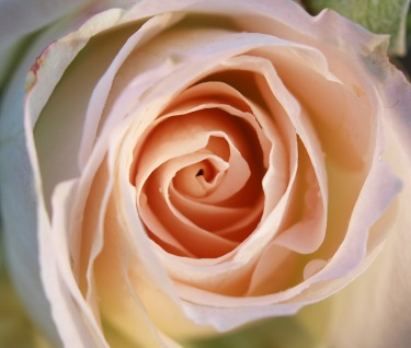 A Rose Blooms on Veteran's Day