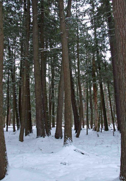 Hartwick Pines, MI