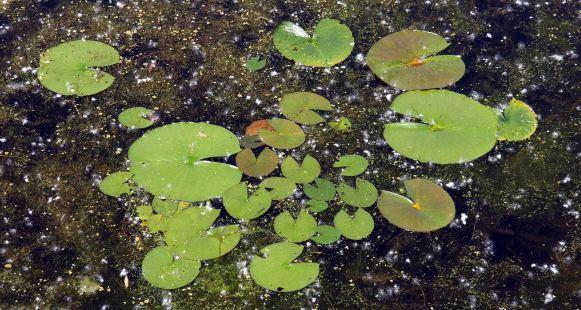 Lily Pads at Tobico Marsh, Bay City, MI