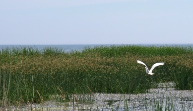Great White Egret at Tobico Marsh, Bay City, MI