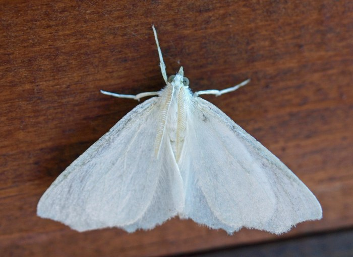 Snow-white Linden Moth