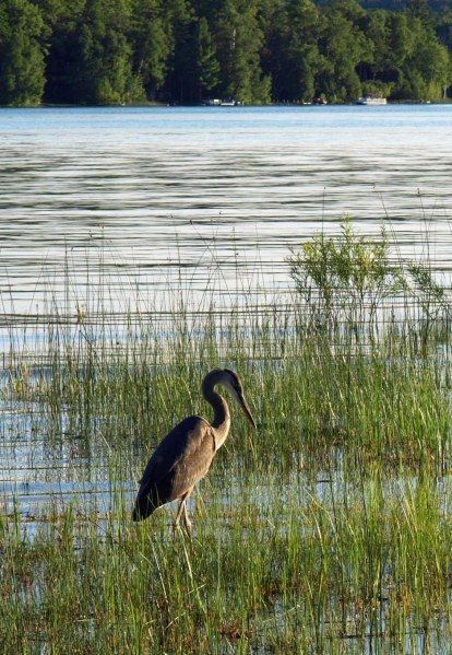 Great Blue Heron, Thumb Lake