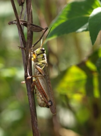 Grasshopper, Fenner Nature Center