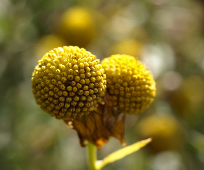 Helenium, Fenner Nature Center