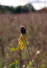 Coneflower, Fenner Nature Center