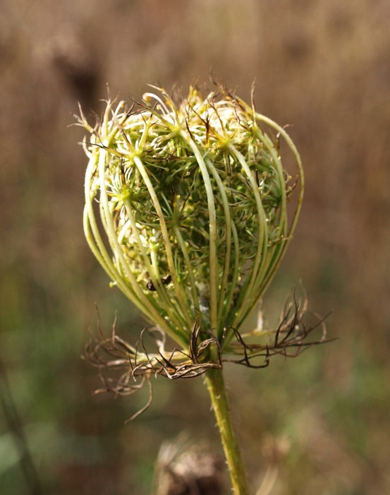 Queen Anne's Lace, Fenner Nature Center
