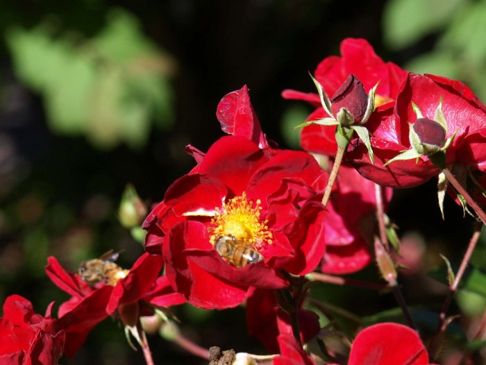 Red Carpet Rose